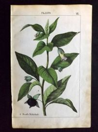 Yonge 1863 Hand Col Botanical Print. Deadly Nightshade. Poisonous